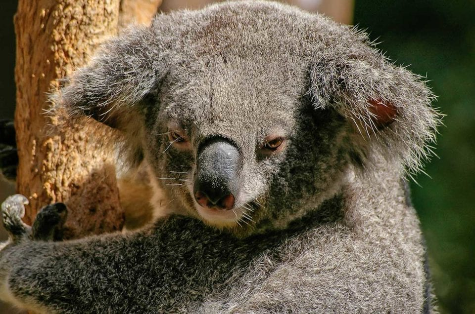 Are you dreaming of Kangaroos, Wombats and others cute Australian animals?